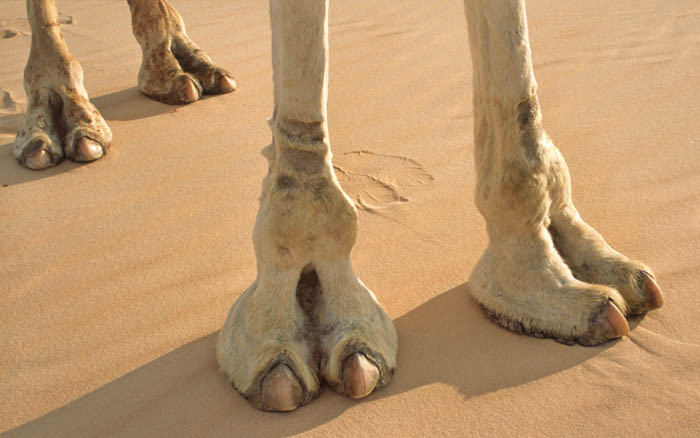 6_Amazing_Things_We_Should_Learn_From_Camel_Feet.jpg